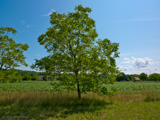 Walnut Tree, Vézère Valley - © 2011 David Hibbard