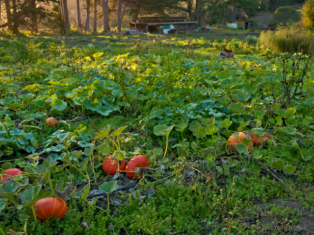 Pumpkin Field, Late Afternoon - © 2011 David Hibbard