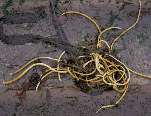 Broken and Twisted Kelp - © 2011 David Hibbard
