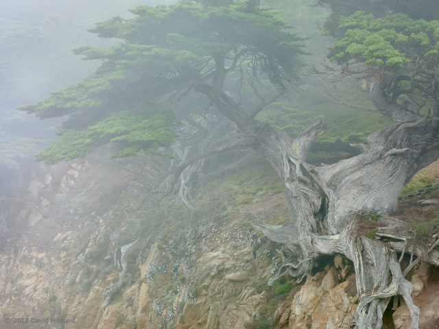 Cypress in Fog - © 2011 David Hibbard