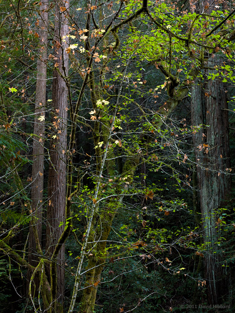 In the Shade of Redwoods - © 2011 David Hibbard
