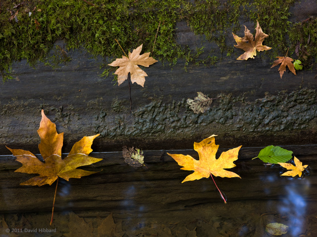 Floating Leaves and Redwood Log - © 2011 David Hibbard