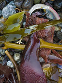 Kelp and Abalone Fragment
