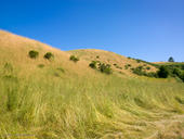 Late Spring Grasses, Pomponio Ranch