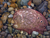Red Abalone and Pebbles