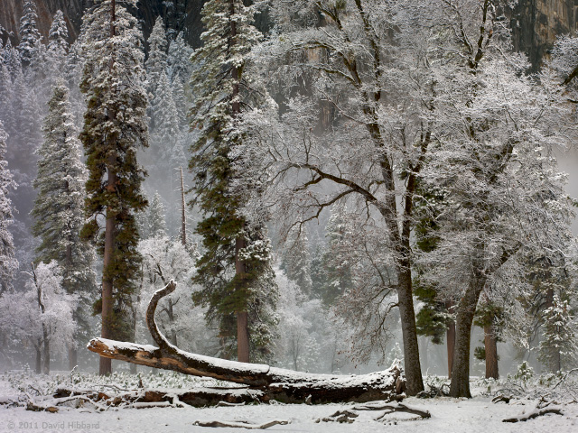 Snowy Trees 1 - © 2011 David Hibbard