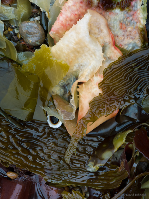 Kelp and Limpet - © 2011 David Hibbard
