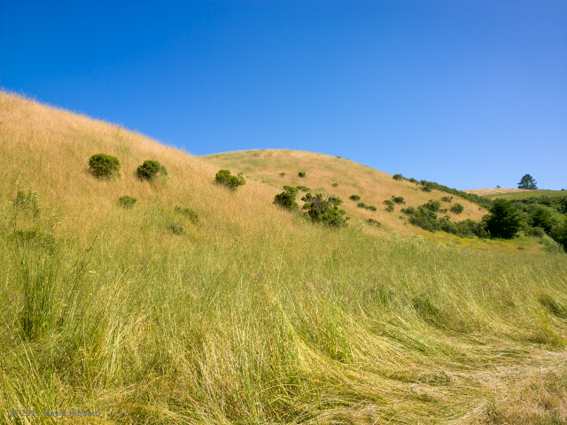 Late Spring Grasses, Pomponio Ranch - © 2011 David Hibbard