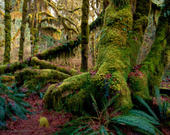 Achient Forest, Hoh River Valley